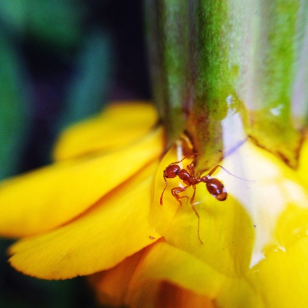 trapped: Ant trapped in raindrop on flower