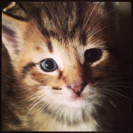 Adorable multicolored kitten with blue eyes