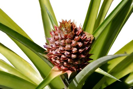 A photo of a pineapple plant with a pineapple growing from it.  Isolated. photo