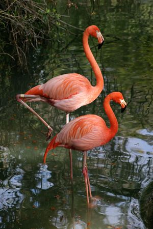 wading: Two bright pink flamingos  wading in a pond.