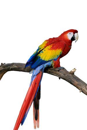 pappagallo: Un luminoso rosso, macaw pappagallo appollaiato su un ramo. Il pappagallo e la succursale sono isolate utilizzando un percorso.