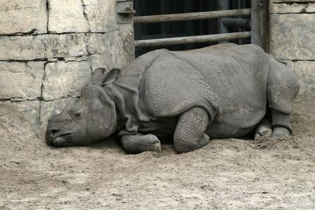 confined: A sad looking rhinocerous, confined and sleeping in the dirt.