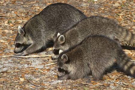 munch: A family of three raccoons foraging in the woods.