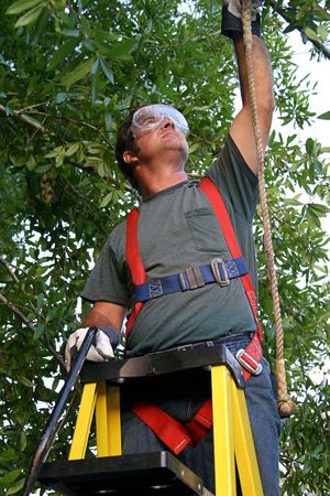 attaching: a man on a ladder attaching his safety harness to a branch before trimming a tree.