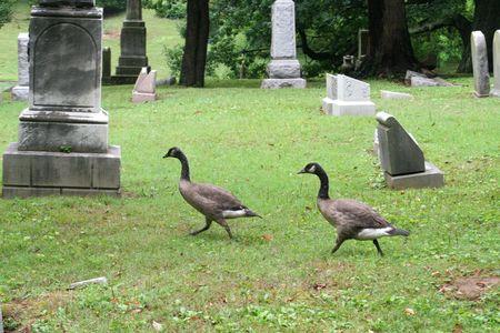 dead duck: geese running between the tombstones in a graveyard