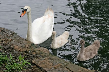 a mother swan and two  signets