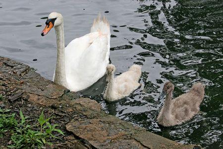 signet: Una madre y los dos hijos de cisne signets