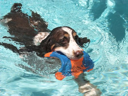 soggy: a springer spaniel swimming in a pool