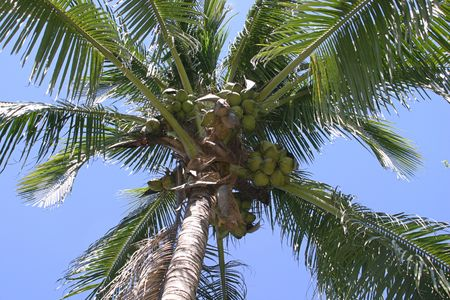 a cocount palm, loaded with coconuts, against a blue sky photo