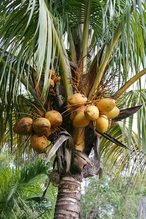 a closeup of coconuts growing in a coconut palm tree. photo