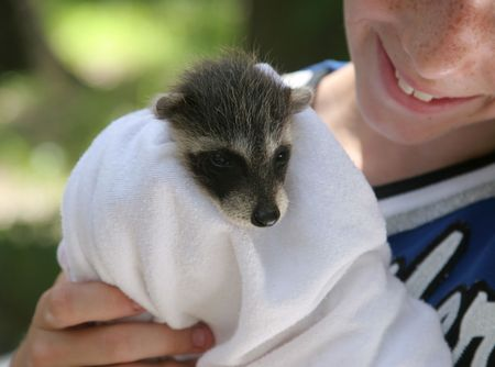 animal pouch: A  raccoon being held by a young wildlife rescue volunteer. Stock Photo