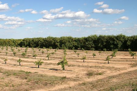 orange grove: A Florida orange grove with mature trees and new trees sprouting up.