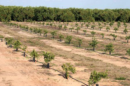 migrant: New orange seedlings growing beside an established orange grove in Florida.
