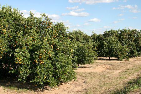 A florida orange grove with oranges on the trees. 版權商用圖片