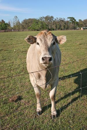 An adorable Blonde dAquitaine cow comes to the fence to say hello.
