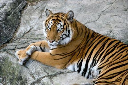 menacing: A portrait of a beautiful tiger. Stock Photo