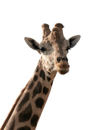 A giraffe, isolated on white. photo