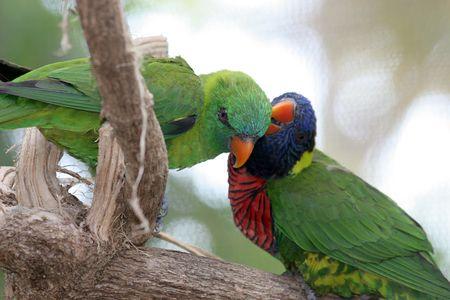 banding: A rainbow lorikeet grooming a green lorikeet.  Focus on green bird.  (screen in background may appear as banding)