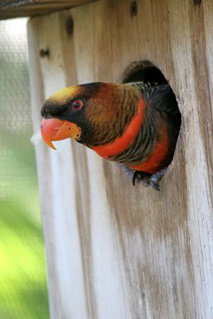 banding: A beautiful orange and black lorikeet peeking out of a birdhouse. (out-of-focus screen in background may appear as banding) Stock Photo
