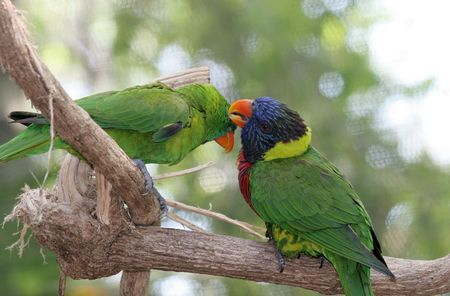 banding: A lorikeet and a green parrot grooming eachother. (screen in background may appear as banding) Stock Photo