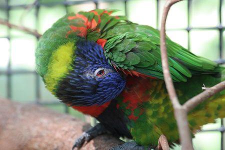 preening: A rainbow lorikeet preening its feathers. Stock Photo