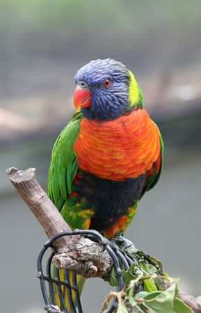 banding: A colorful rainbow lorikeet perched on a branch. (out of focus screen in background may apear as banding)