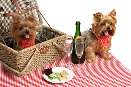 Two adorable yorkies on a picnic with wine & dog treats.  White background. Stock Photo - 484122