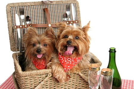 Two adorable yorkshire terriers in a picnic basket. Stock Photo - 484121