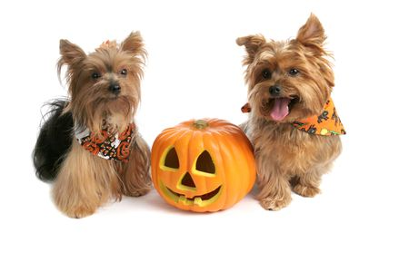hallows': Two adorable yorkies with a halloween jack-o-lantern.  Isolated on white.