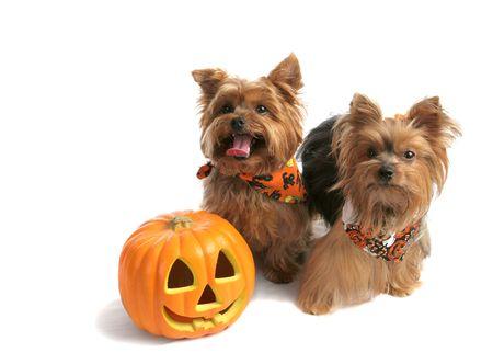 calabazas de halloween: Dos hermanos adorable yorkie viste a engañar o tratar de Halloween. Aislado con espacio para texto.  Foto de archivo