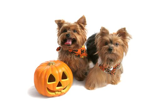 Two adorable yorkie siblings dressed up to trick or treat on halloween.  Isolated with room for text.