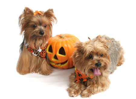 Two adorable yorkies dressed up for Halloween, posing with a jack-o-lantern.  Focus on the face of the forward dog (the one on the right) Stock Photo