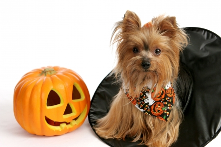 A cute yorkie puppy sitting in a witches hat beside a pumpkin.  Photographed over white background. Stock Photo