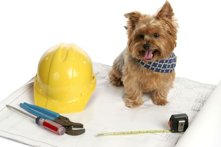 drool: A yorkshire terrier architect examining blueprints.