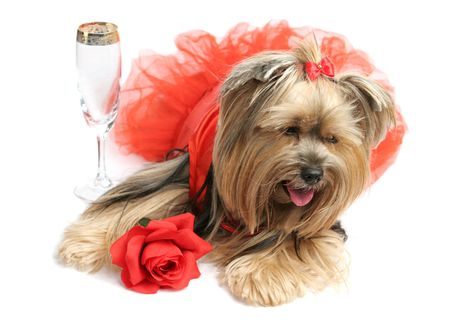 animal tutu: A sad yorkshire terrier in a satin gown with a rose is drowning her sorrows with champagne. Stock Photo