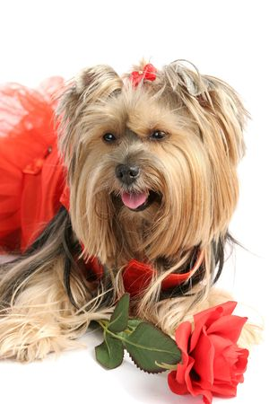 A beautiful yorkshire terrier in a red tutu with a rose.