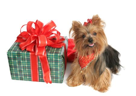 An adorable yorkshire terrier dog with a brightly wrapped Christmas present. photo