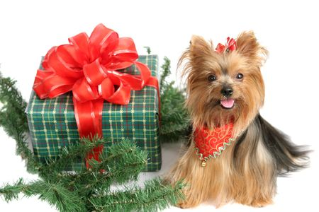 An adorable yorkshire terrier dog posing with a christmas gift and some pine branches.