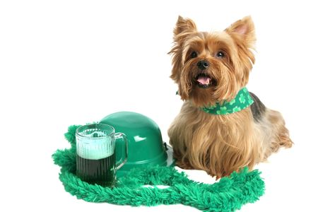 An adorable yorkie puppy dressed for St Patricks Day and sitting beside a green bowler hat and green beer.  White background. photo