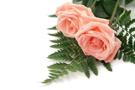 room for text: Two perfect pink roses on a white background.  Room for text. Stock Photo