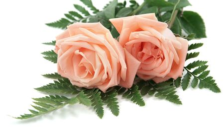 Two perfect pink roses with fern leaves on a white background. photo