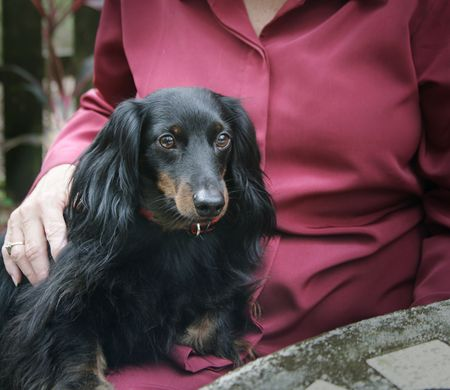 A daschund sitting on a woman's lap providing comfort and affection.