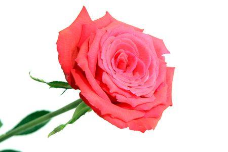 完璧な赤いバラ、白い背景で隔離。