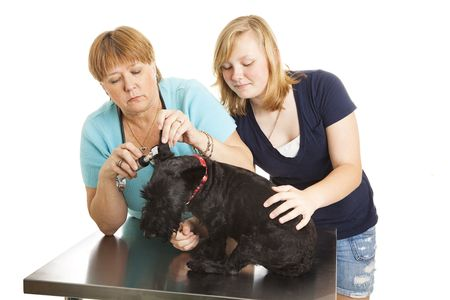 Female veterinarian looks inside a dogs ears while the teen owner keeps it calm.  Isolated on white. photo