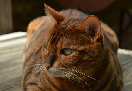 벵골 고양이