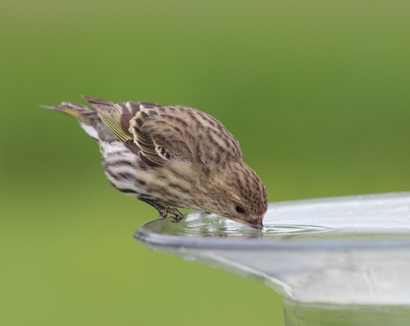 Pine Siskin Drinking from Birdbath
