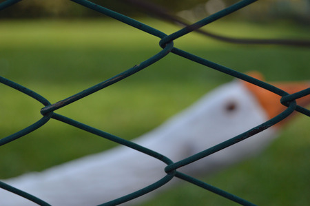 honking: white goose behind the green fence