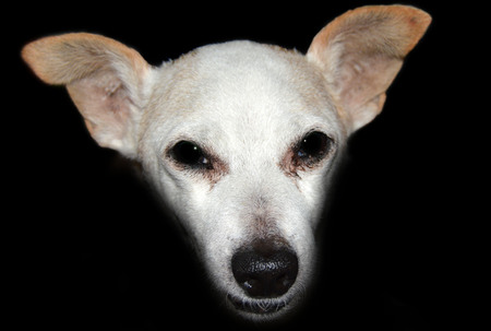 snout: snout of white dog on a black background