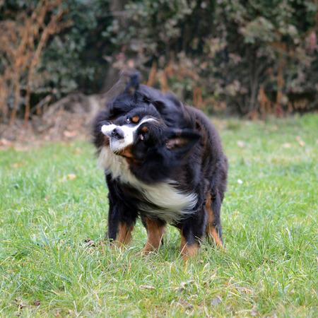 sennen: Bouvier dog on wooded background Stock Photo