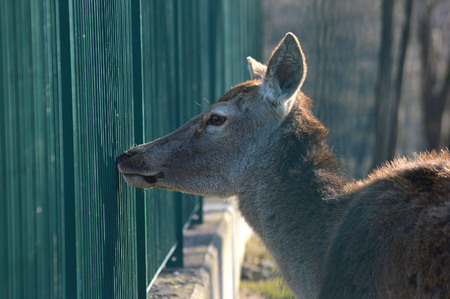 enclosed: deer enclosed in a fence Stock Photo
